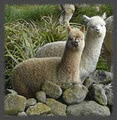 Establo Alpacas and Farmstay